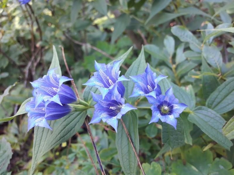 blauer-enzian