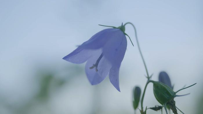 blaue-glockenblume